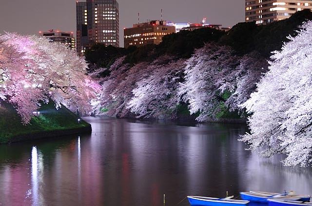 1千鳥ヶ淵 桜