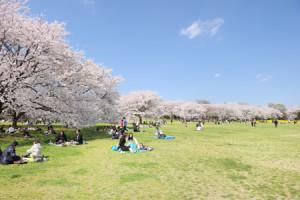 1国営昭和記念公園 花見