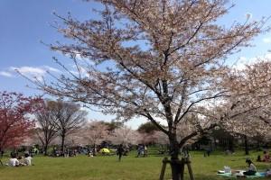 1舎人公園 花見