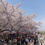 隅田公園のお花見イベントはスカイツリーと桜のコラボ!場所取りや混雑度などもご紹介【東京・浅草】