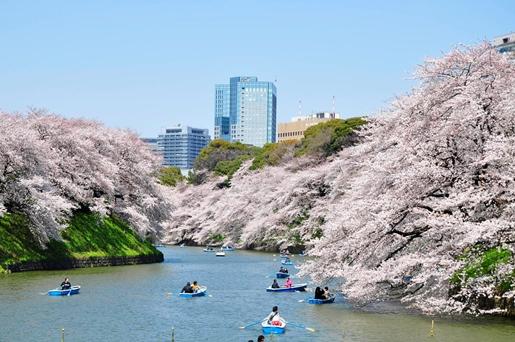 2千鳥ヶ淵 桜