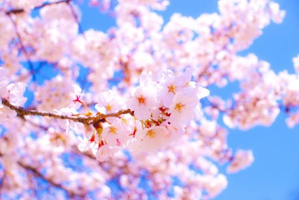 全国お花見スポットのイメージ