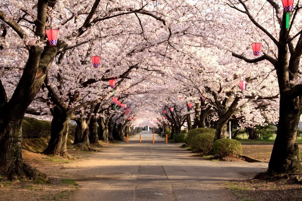1造幣局 桜の通り抜け 花見