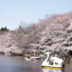 井の頭恩賜公園のお花見イベントは色んな桜が楽しめてボートも人気!パーティー場所取りは激戦?【東京・三鷹】
