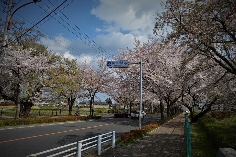 調布飛行場遊具広場の桜は子連れに最適