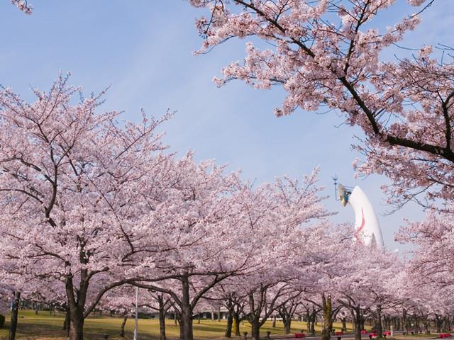 大阪の万博記念公園の桜