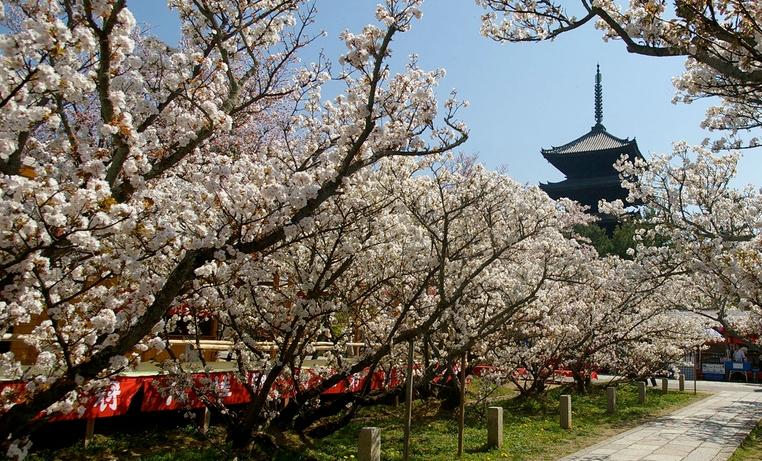 仁和寺の御室桜(おむろ桜)