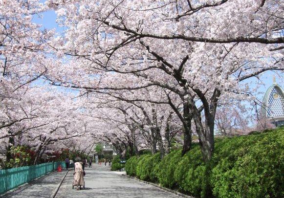 大阪府茨木市の桜通りの桜